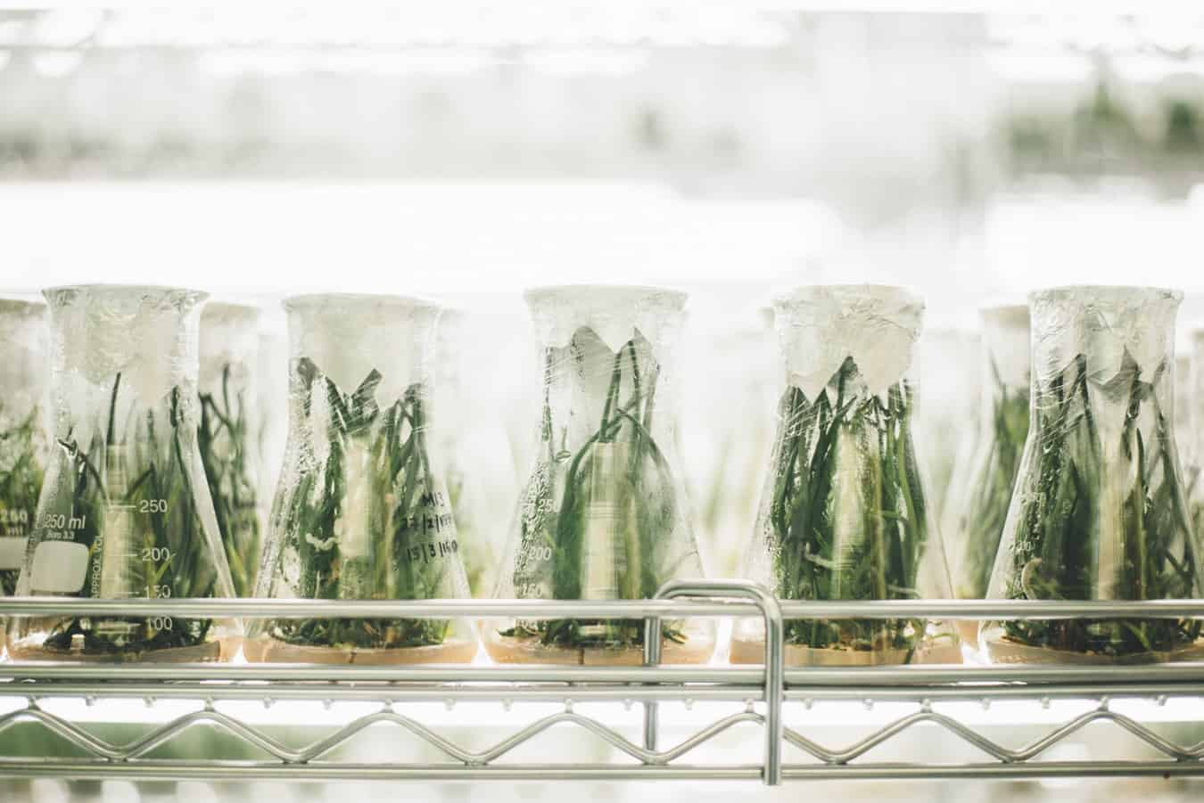 A shelf of glass beakers containing plants
