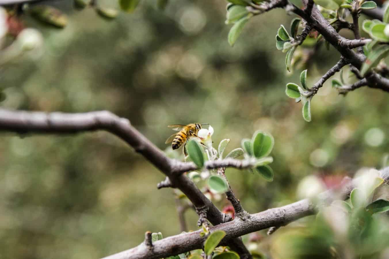 A honey bee flying up to a flower on a tree branch