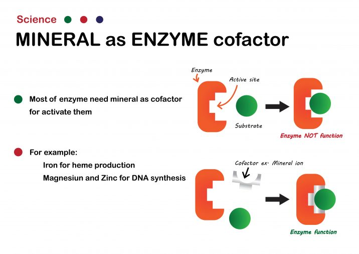 Diagram explaining how minerals act as cofactors in the body